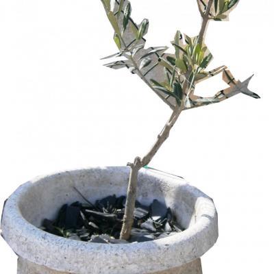 Pot avec son olivier
