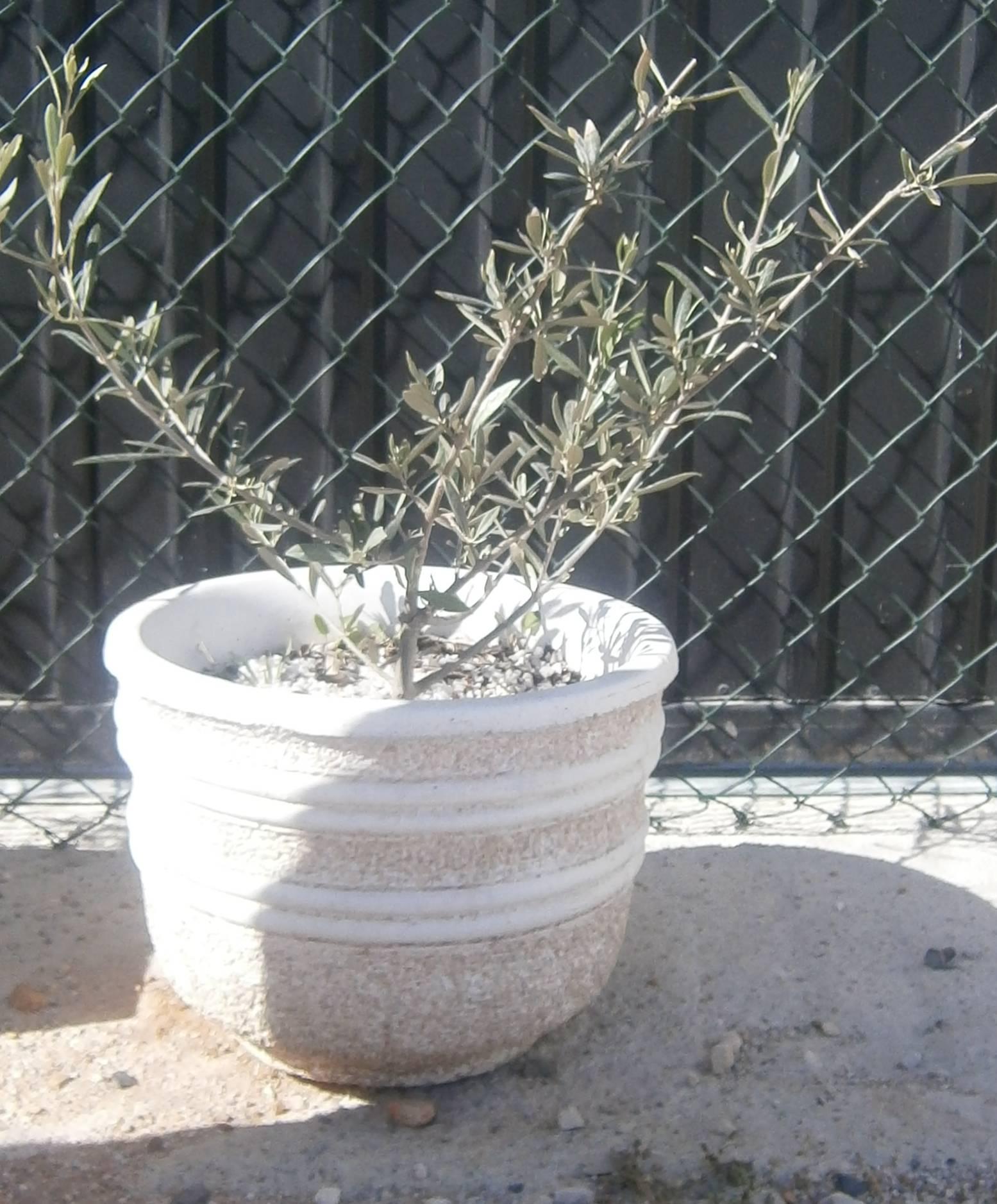 Pot oliv 2