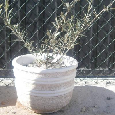 Vase avec olivier
